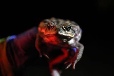 Rains draw out gangs of dog-killing cane toads